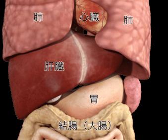 脾臓の位置